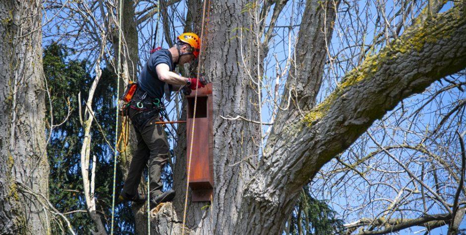 Man fixes tawny owl box on tree at Howbery Park